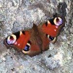 kuva perhonen kalliolla
