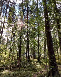 aurinko käy puiden välistä metsässä