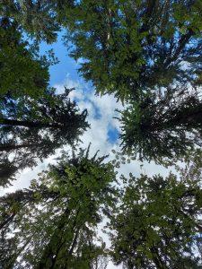 puiden latvat ja taivas alhaalta päin katsottuna