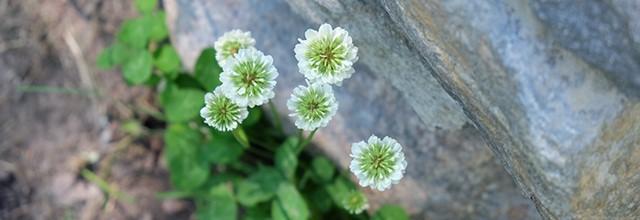 Valkoapilan kukkia